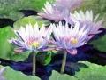 water-lilies-003b